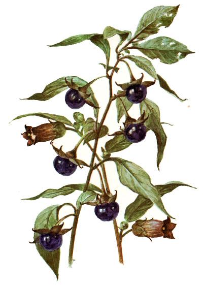 http://warlock.3dn.ru/MisteriumArch/Library/Components/Berries/belladonna.jpg