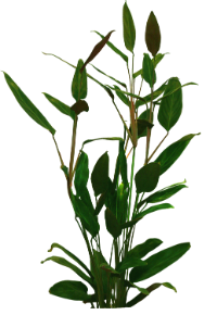 http://warlock.3dn.ru/MisteriumArch/Library/Components/Herbs/klinolist.png