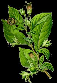 http://warlock.3dn.ru/MisteriumArch/Library/Components/Herbs/koren_smerti.png