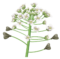 http://warlock.3dn.ru/MisteriumArch/Library/Components/Herbs/pastushja_sumka.png