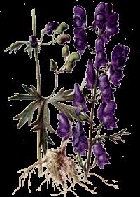http://warlock.3dn.ru/MisteriumArch/Library/Components/Herbs/volchij_koren.png