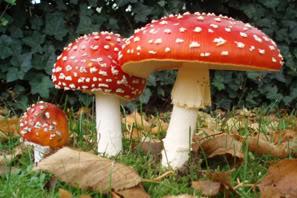http://warlock.3dn.ru/MisteriumArch/Library/Components/Mushrooms/mukhomor.jpg