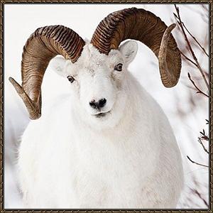 http://warlock.3dn.ru/MisteriumArch/Library/Mob/Animals/gornyj_baran.jpg