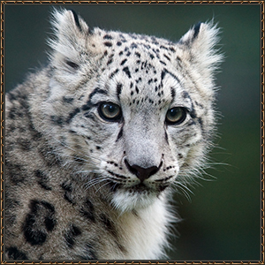 http://warlock.3dn.ru/MisteriumArch/Library/Mob/Animals/irbis.jpg