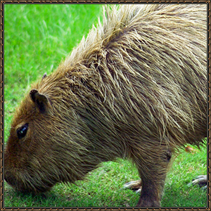 http://warlock.3dn.ru/MisteriumArch/Library/Mob/Animals/kapibara.jpg