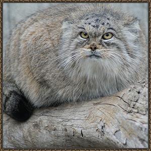 http://warlock.3dn.ru/MisteriumArch/Library/Mob/Animals/manul.jpg