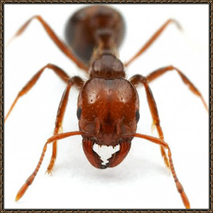 http://warlock.3dn.ru/MisteriumArch/Library/Mob/Animals/ognennyj_termit.jpg