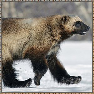 http://warlock.3dn.ru/MisteriumArch/Library/Mob/Animals/rosomakha.jpg