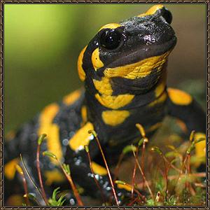 http://warlock.3dn.ru/MisteriumArch/Library/Mob/Animals/salamandra.jpg