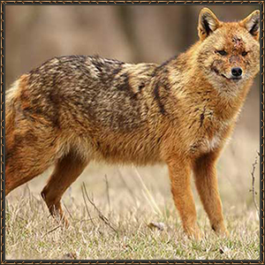 http://warlock.3dn.ru/MisteriumArch/Library/Mob/Animals/stepnoj_shakal.jpg